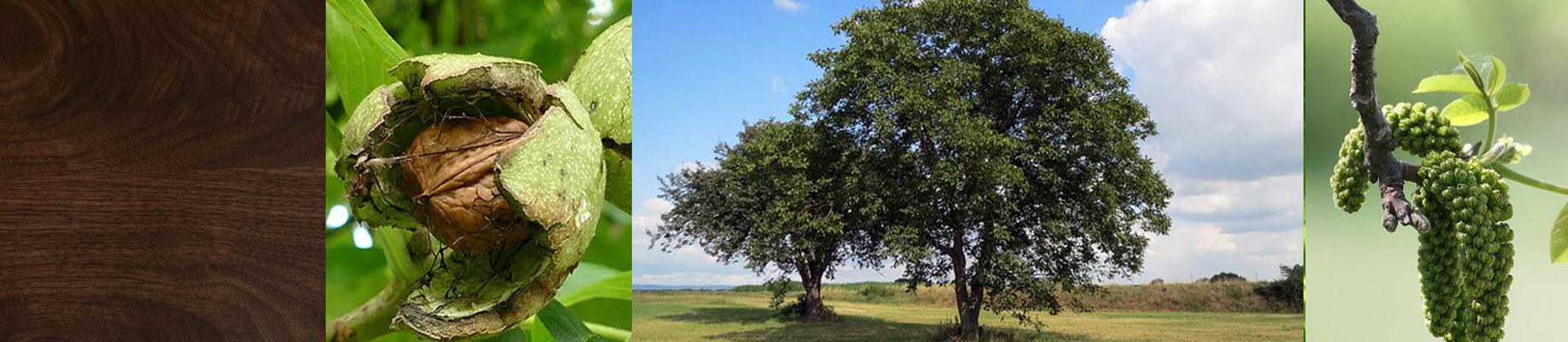 Astnussbaum holzart.jpg
